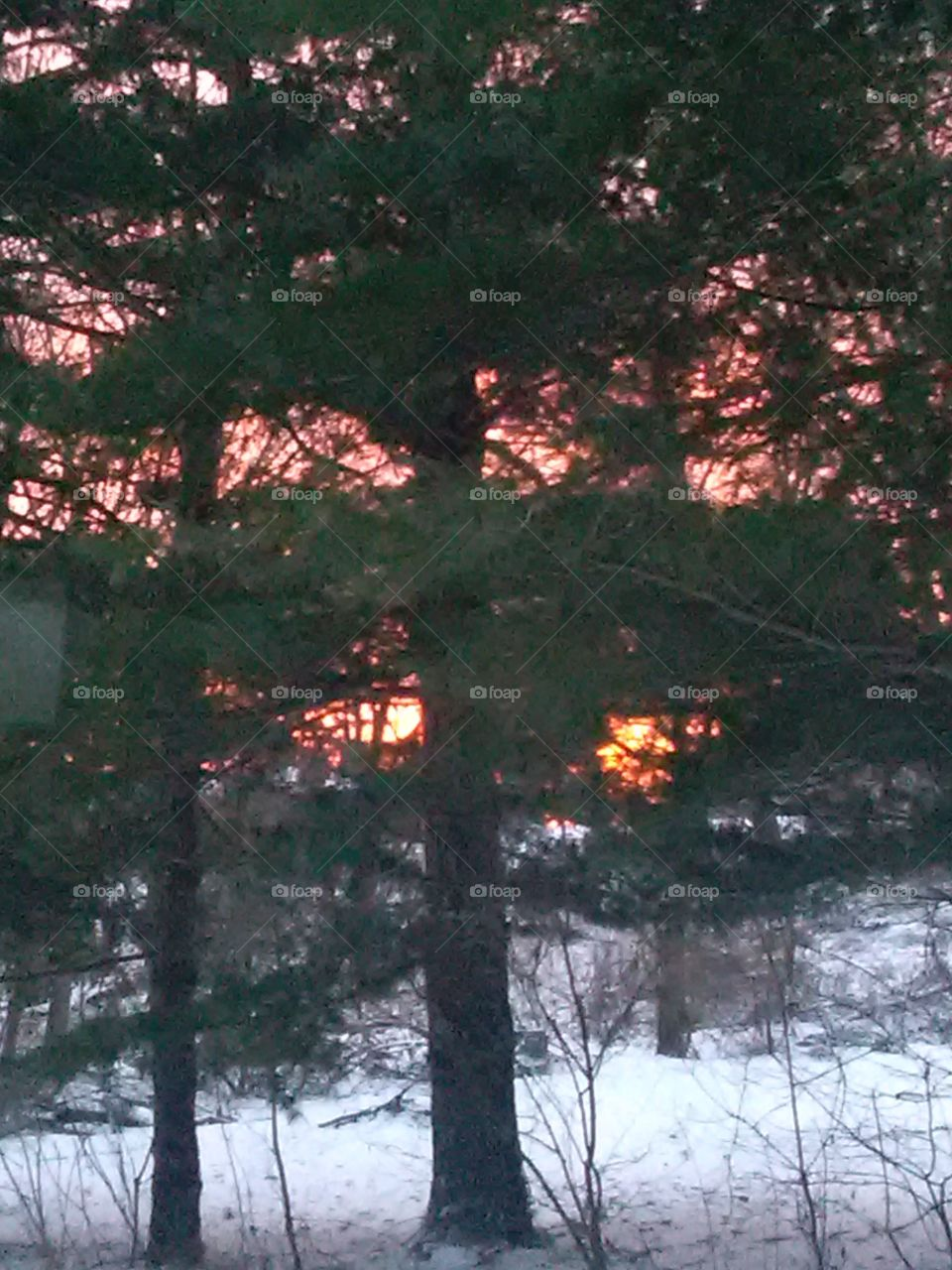 Sunrise through the pines