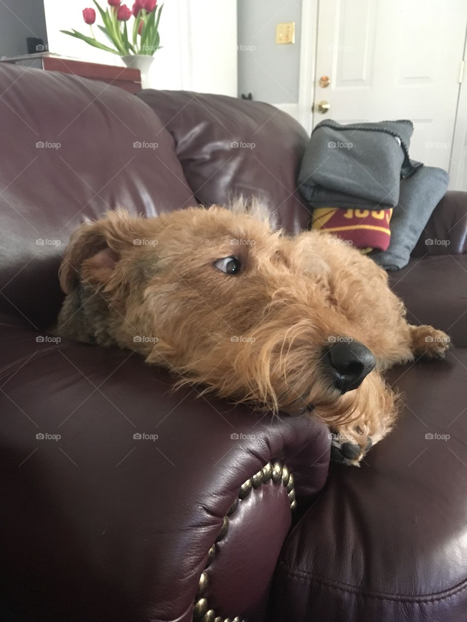 Airedale terrier on a couch, March 2017