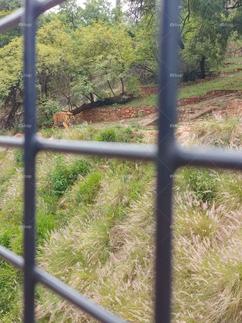 Through a cage, a frustrated tiger can be seen, walking along the only space he has got.