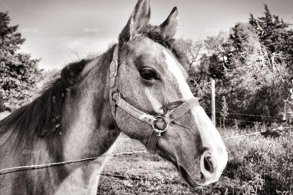 Horse portrait done in black and white