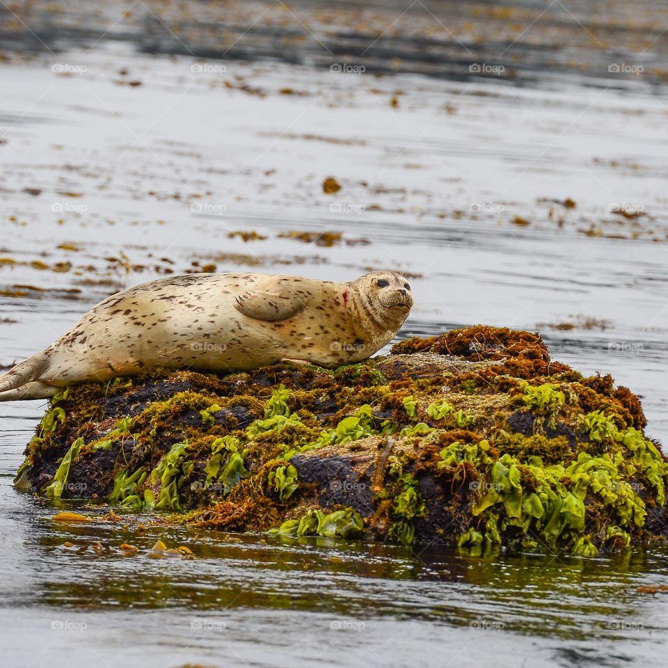 Seal. Resting Seal