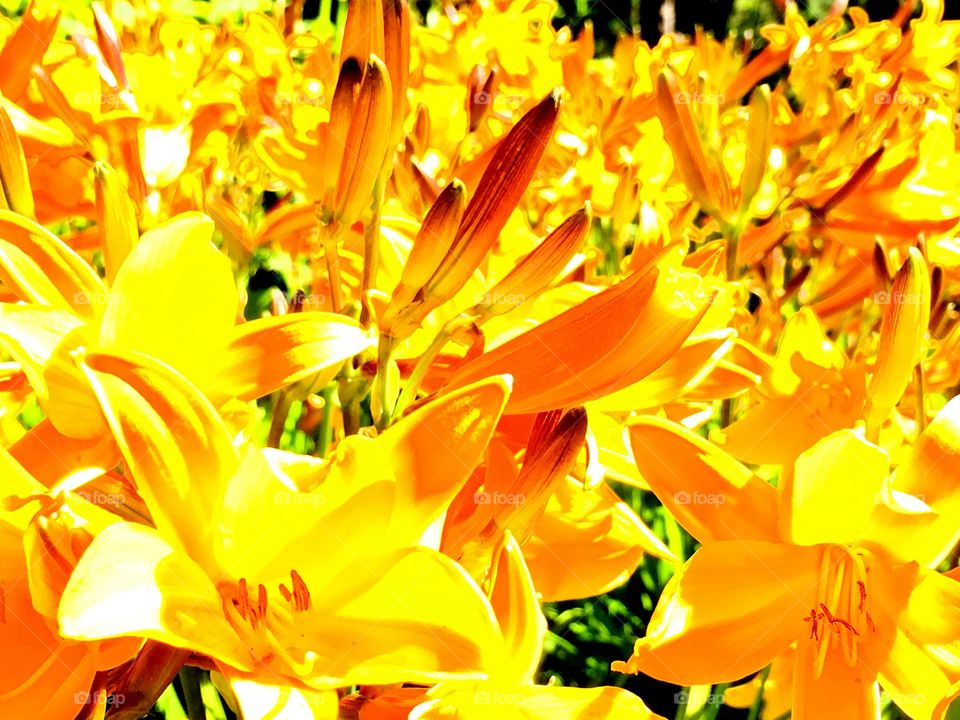 Sea of yellow lilies