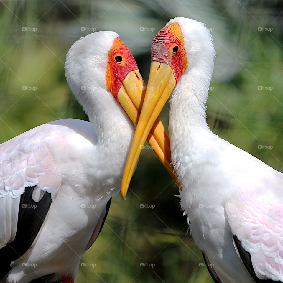 Two yellow billed stork together