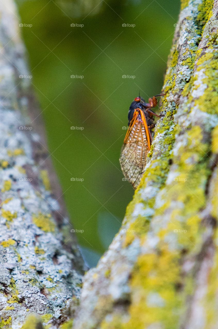 Return of the 17 years cicadas