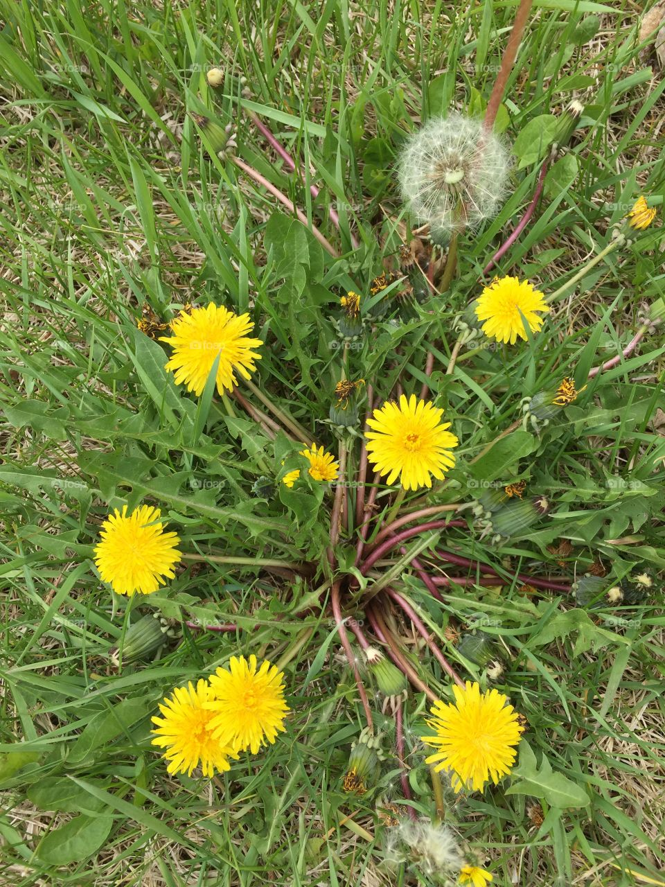 Dandelions and Wishes