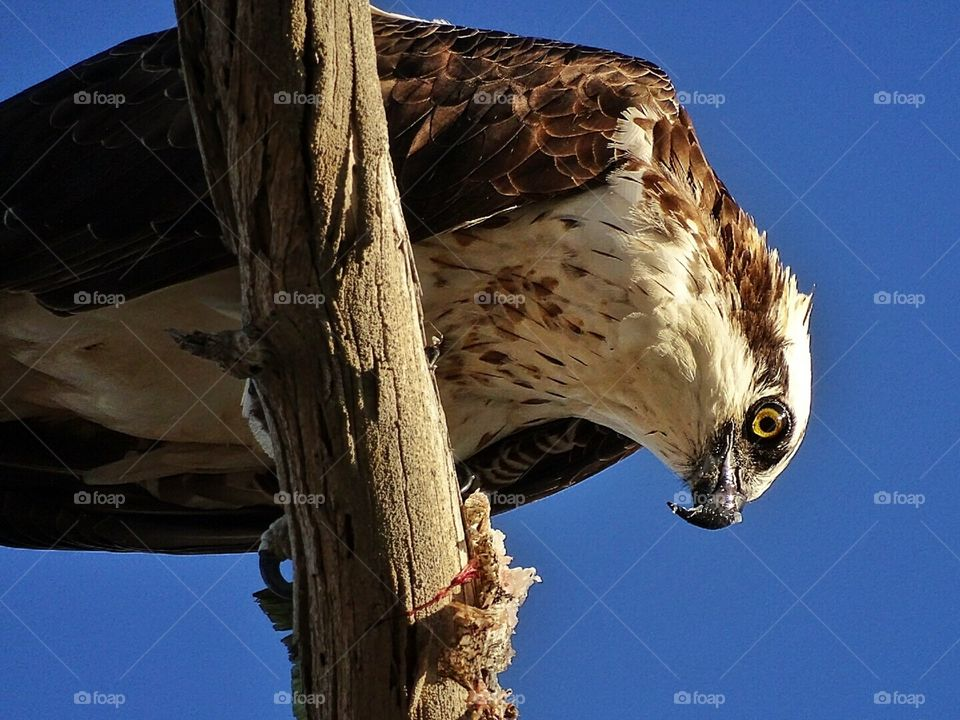 Female Osprey eating its caught fish