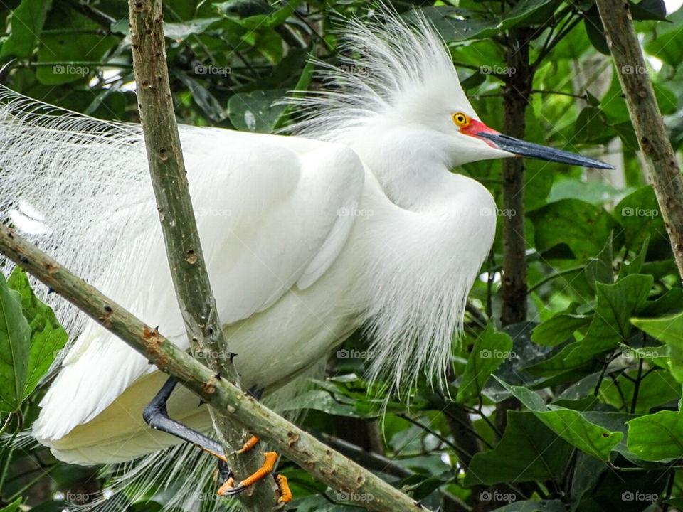 Snowy Egret in tree