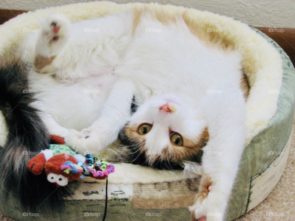 Darling silly long haired calico cat curled up laying upside down in bed playing with her toy!