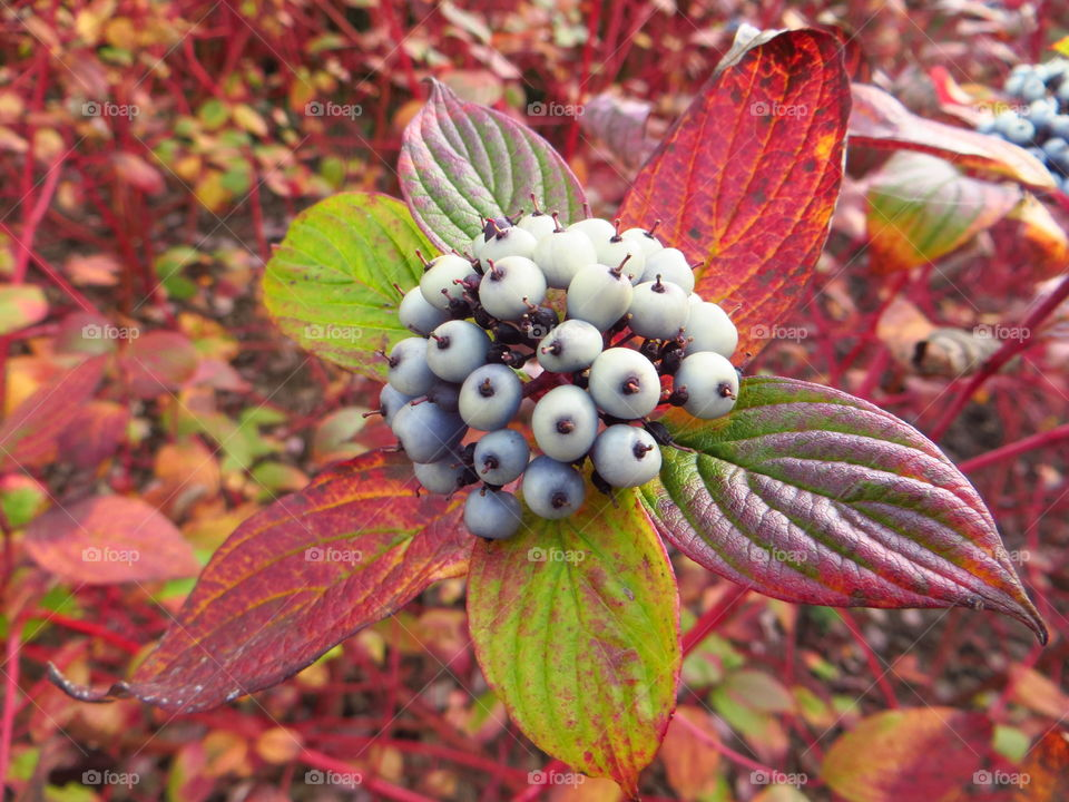 Close-up of dogwood berry on plant