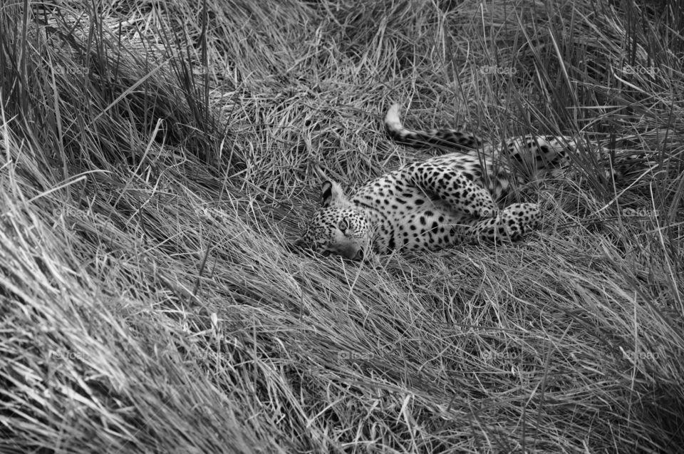 Leopard Photo taken in the Okavango Delta, Africa