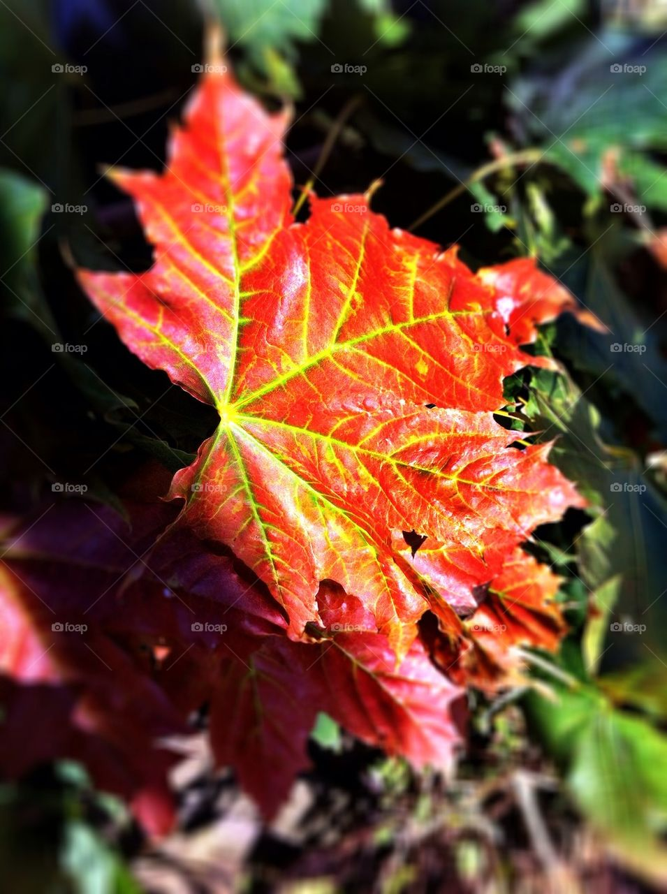 Red maple leaf in fall.