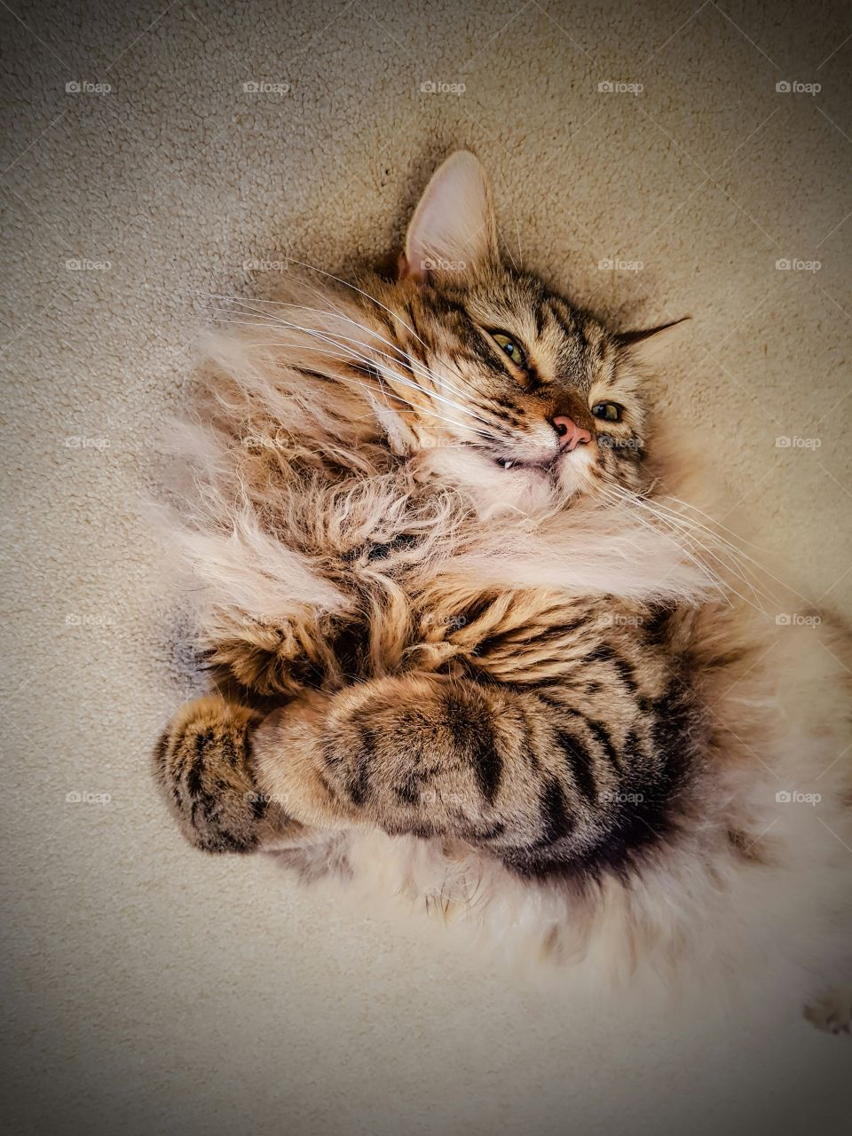 mainecoon rolling around on his back on a cream carpet
