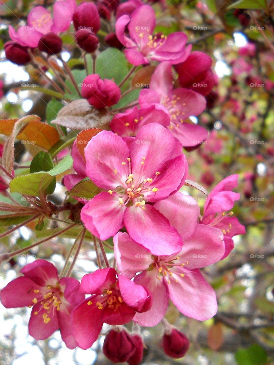 Pink Crabapple Blossoms