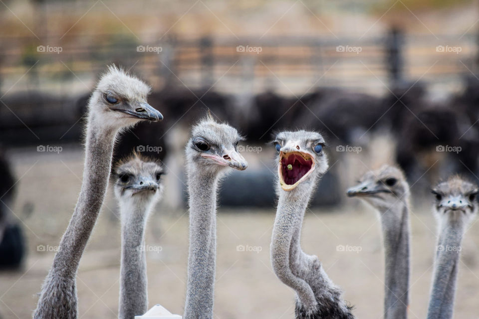 """'I got the pellet!' """"I got the pellet!"""", said by an opened-mouth ostrich."""