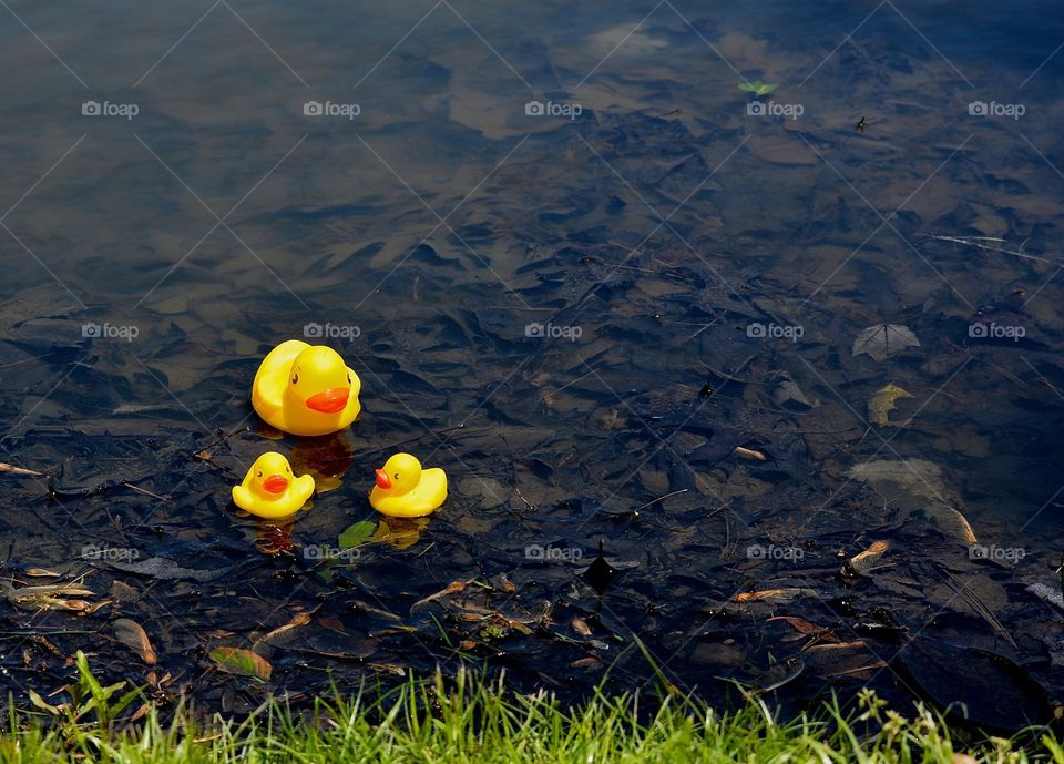 Rubber Duckies in Pond
