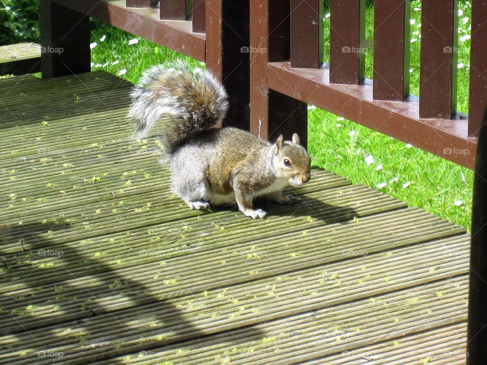 Squirrel on the decking