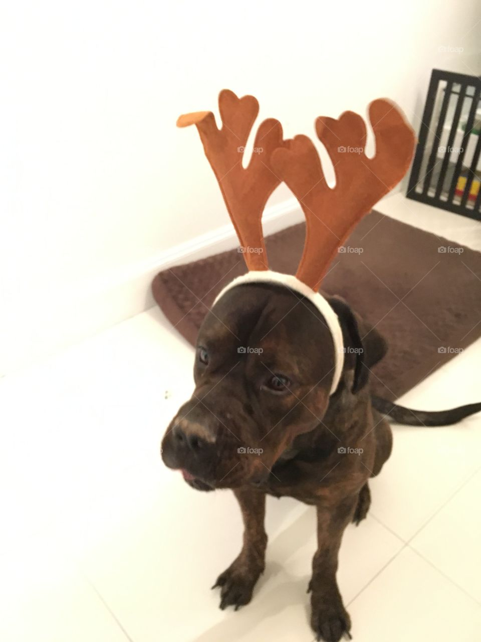 Christmas dog outfit reindeer ears