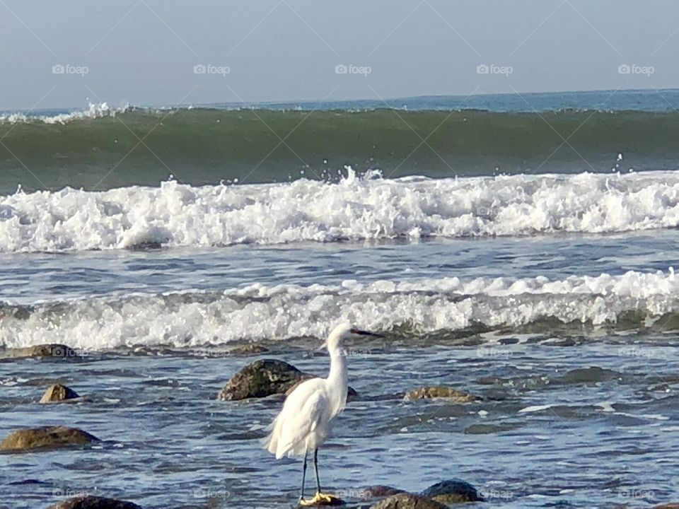 Egret in the Waves , Gorgeous
