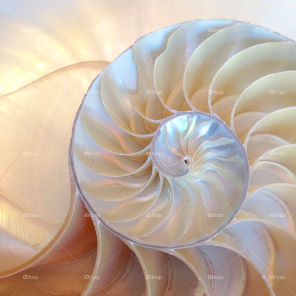 Nautilus shell close-up half