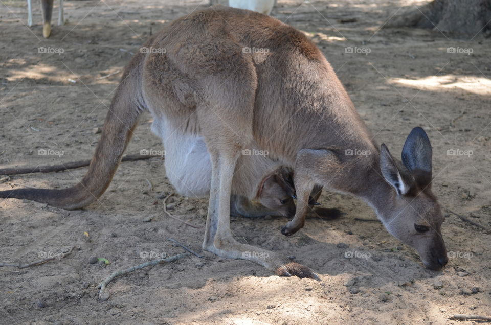 Mom and baby kangaroo. Baby in the moms pouch.