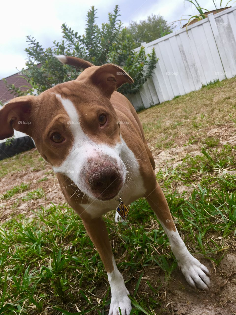 Rescue pitbull all dirty from playing ball
