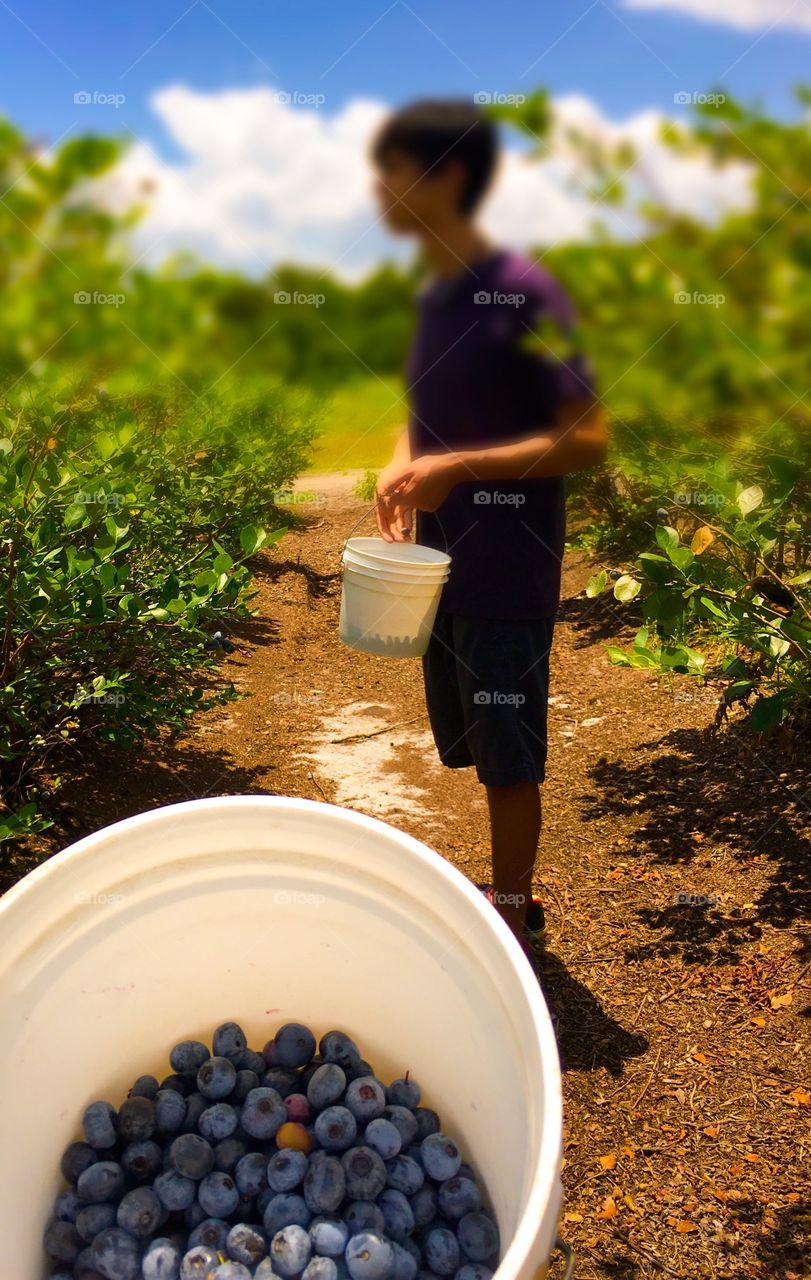 Picking Fresh Blueberries