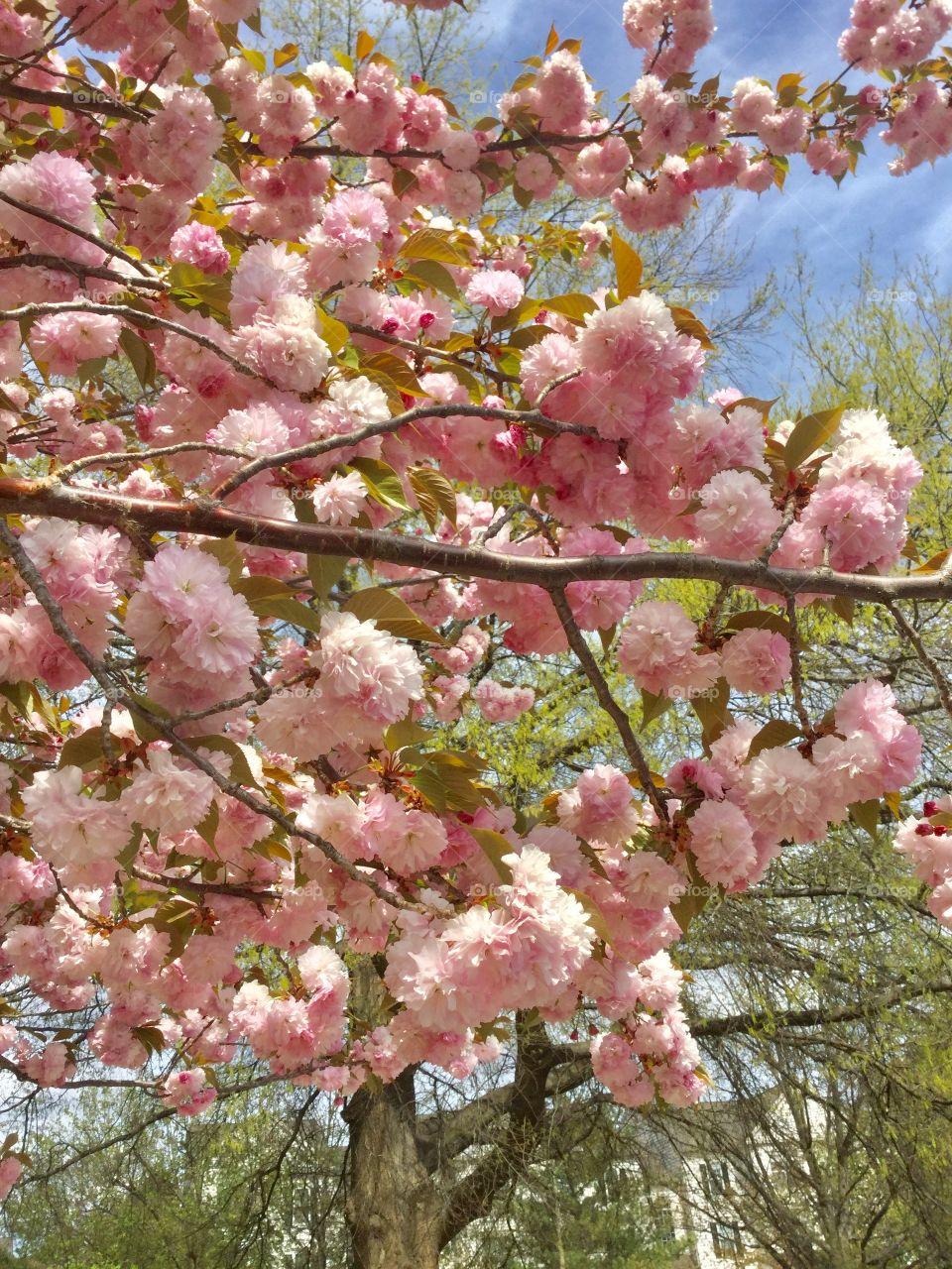 Mesmerized by cherry flowers everywhere