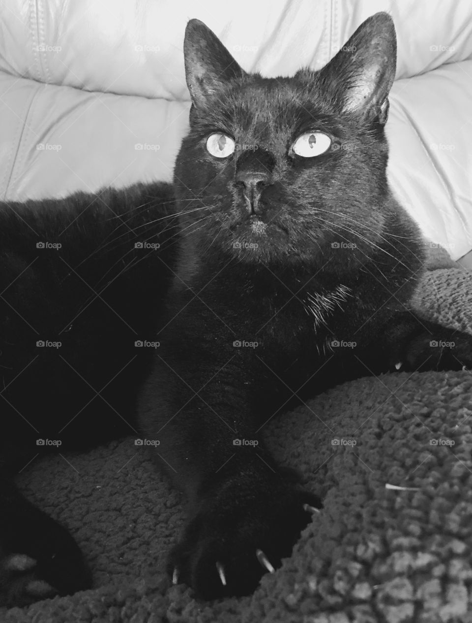 Black cat showing her claws out on one foot! Monochromatic portrait of Velvet😻!