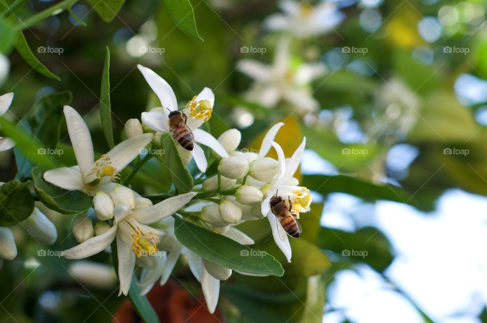 Bees on orange blossoms