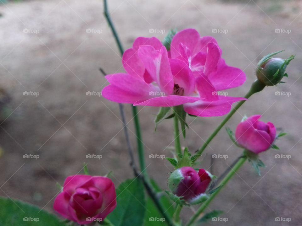 rose flower bunch