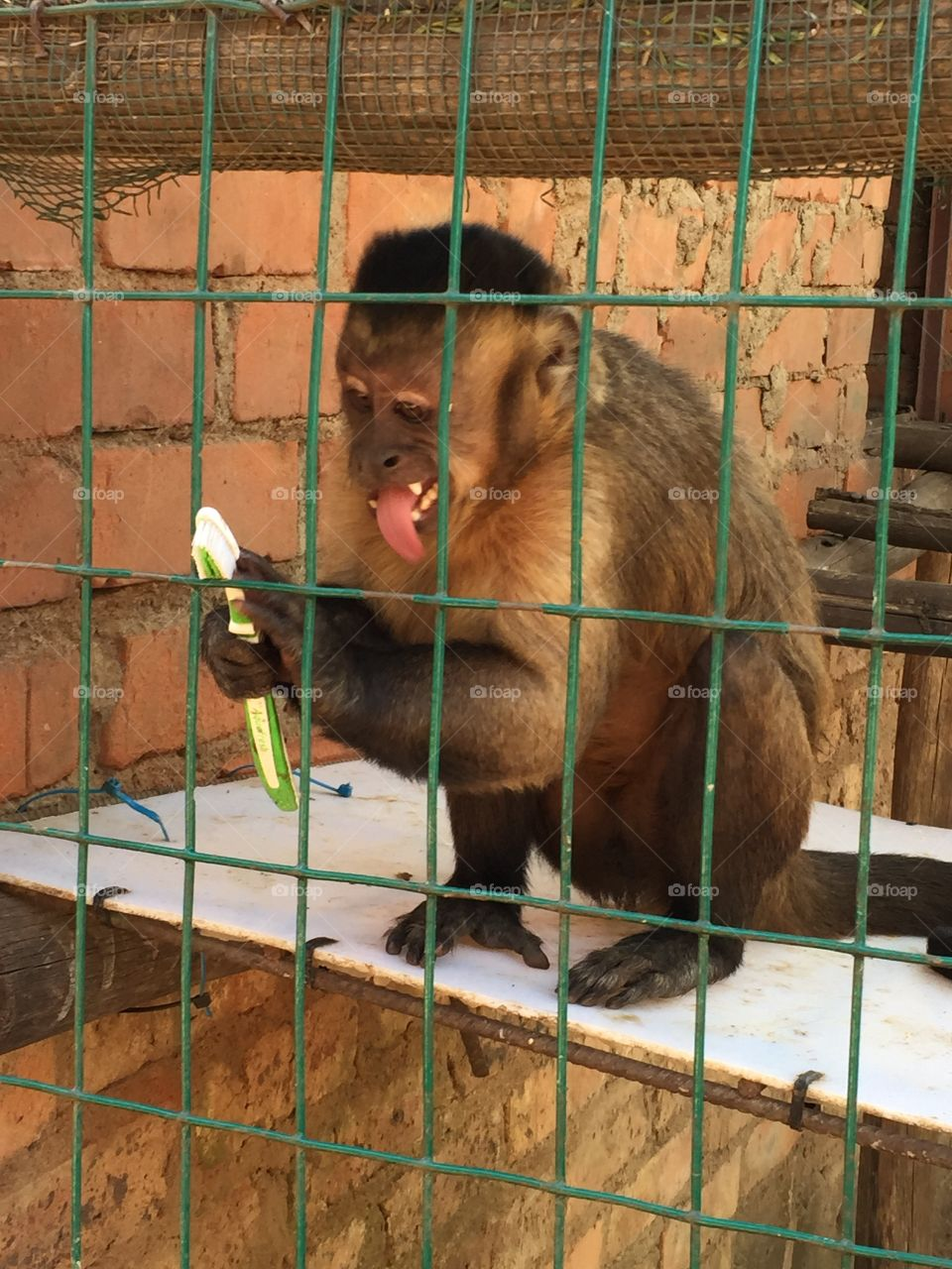 Capuchin with toothbrush