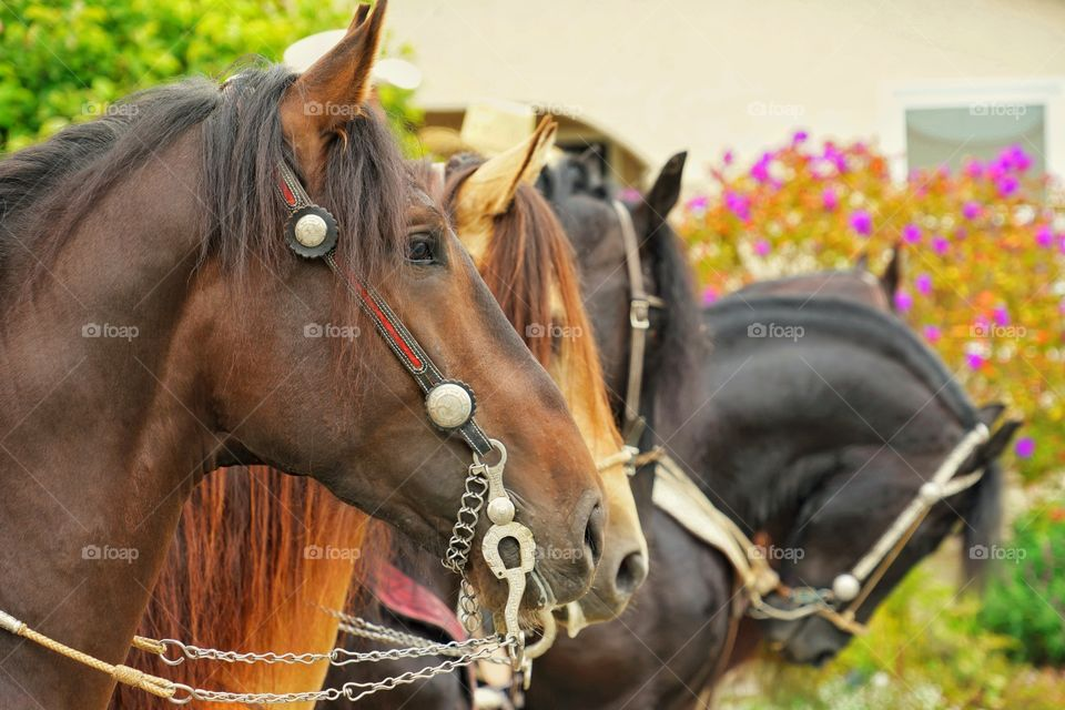 Profile Of Magnificent Horses