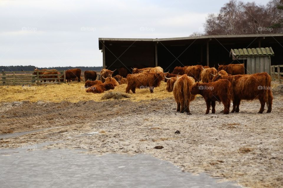 Longhaired cows