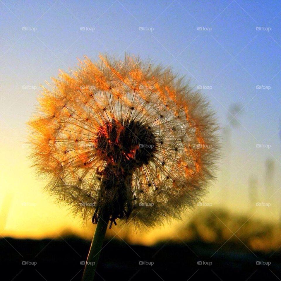Dandelion HD Spring