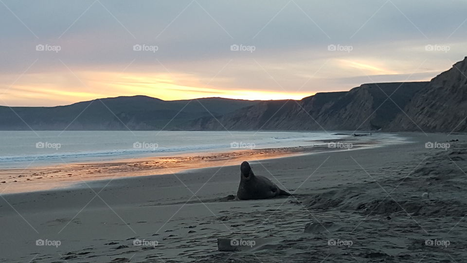 Elephant seal on beach at sunset
