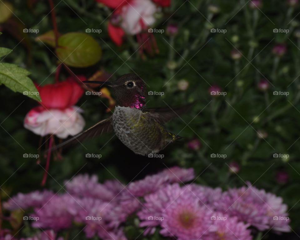 hummingbird inflight red head. hummingbird inflight fuchsia red headed