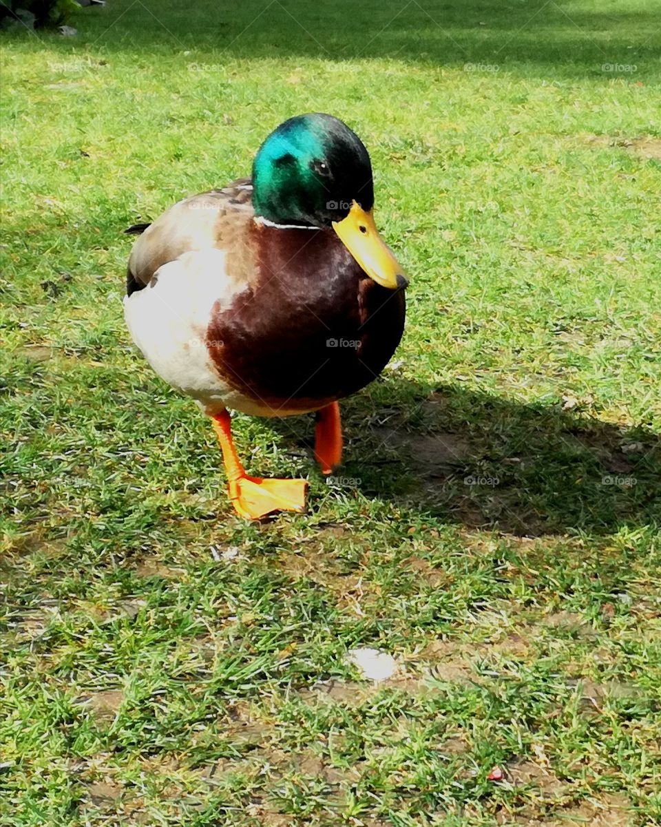 #Fallowme #nature #island #animals #voted #vote #duck #discovery