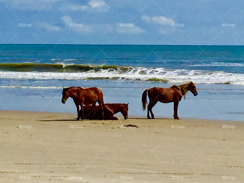 Stallion and Mares