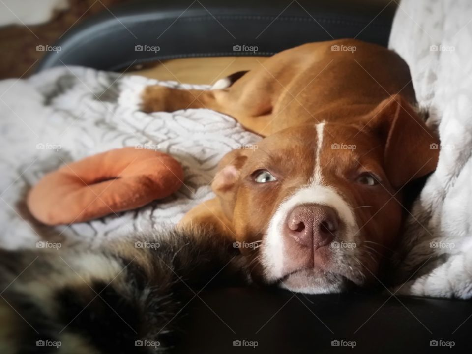 A Catahoula pit bull terrier mix puppy looks up with sweet green eyes as she relaxes on a recliner chair with a gray blanket and a donut dog toy